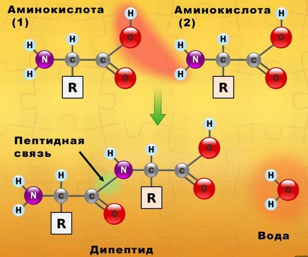 Рис. 1. Схема образования молекулы белка (дипептида).